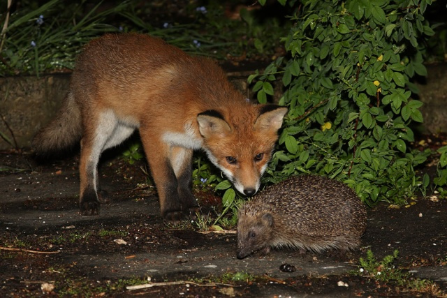 9c328-fox_cub_hedgehog_2905101990
